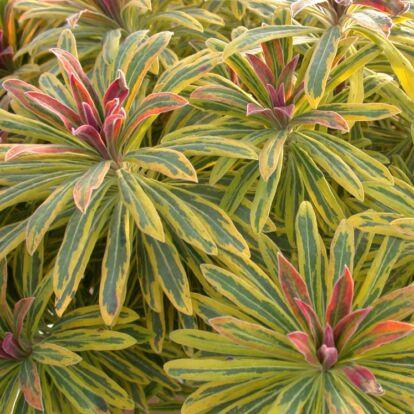 Euphorbia Martinii 'Ascot Rainbow' / Évelő kutyatej