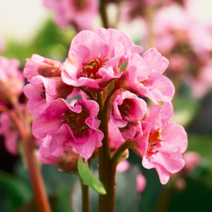 Bergenia 'Herbstblüte' / Szívlevelű bőrlevél