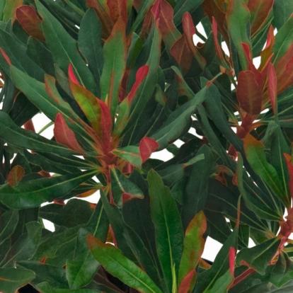 Euphorbia 'Xenia' / Évelő kutyatej