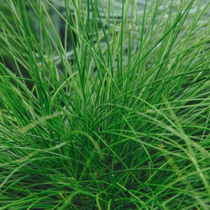 Festuca Cinerea 'Green Form' / Deres csenkesz