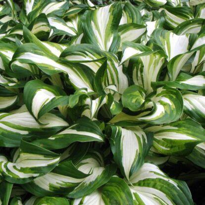 Hosta undulata 'Mediovariegata' / Hullámos levelű árnyliliom