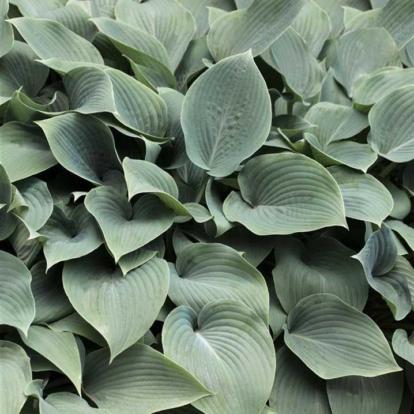 Hosta sieboldiana / Hamvas árnyliliom