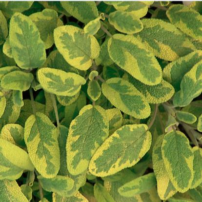 Salvia officinalis 'Icterina' / Orvosi zsálya
