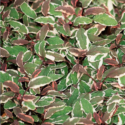 Salvia officinalis `Tricolor´ / Orvosi zsálya