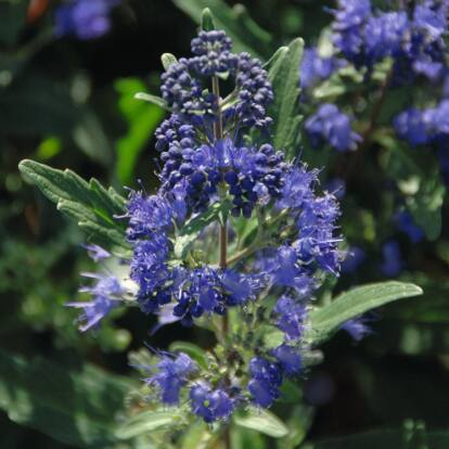 Caryopteris 'Blue Cloud' / Kékszakáll