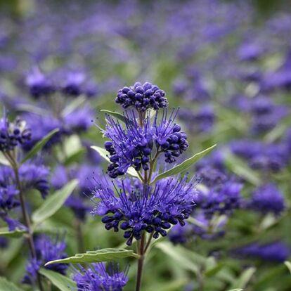 Caryopteris 'Blue Knight' / Kékszakáll