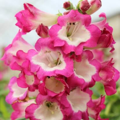 Penstemon 'Pentastic Rose' / Bugatölcsér