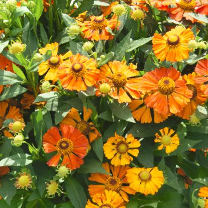 Helenium 'Helias Orange' / Napfényvirág