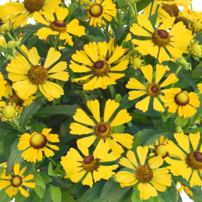Helenium 'Helias Yellow' / Napfényvirág