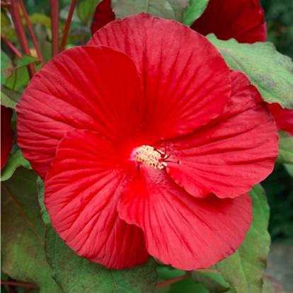 Hibiscus moscheutos Summerific 'My Valentine' / Mocsári hibiszkusz