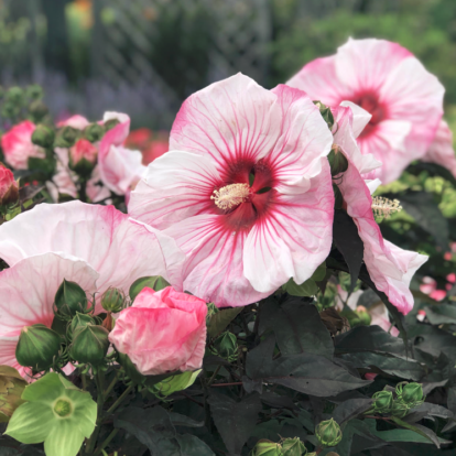 Hibiscus moscheutos Summerific 'Cherry Cheesecake' / Mocsári hibiszkusz