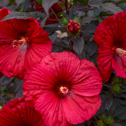 Hibiscus moscheutos Summerific 'Holy Grail' / Mocsári hibiszkusz