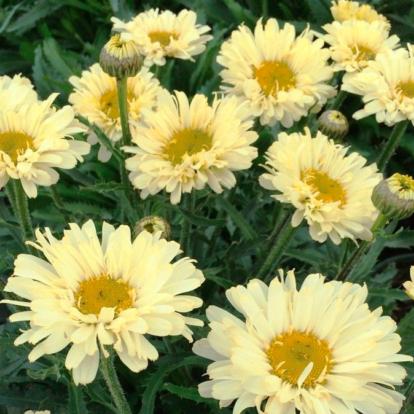 Leucanthemum sp. 'Real Dream' / Margaréta, kerti margitvirág