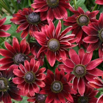 Rudbeckia x Echinacea 'Summerina Pumpernickel' / Kúpvirág
