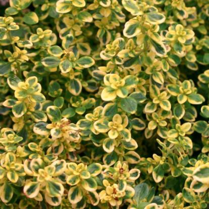 Thymus citriodorus 'Golden King' / Citromillatú kakukkfű