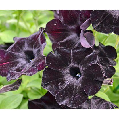 Petunia Crazytunia Black Mamba