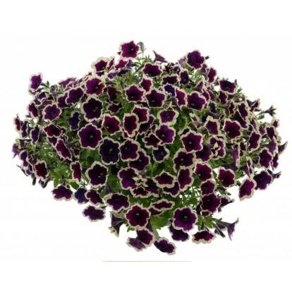 Petunia Cascadias Rim Magenta