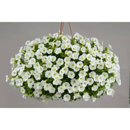 Petunia Littletunia White Grace