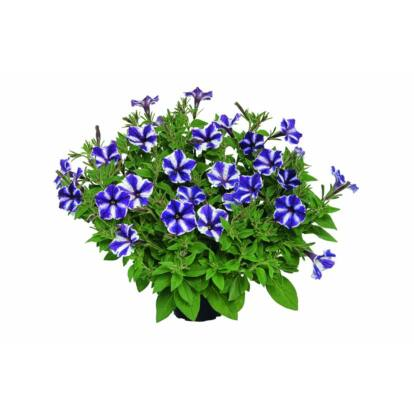 Petunia Blueberry Star