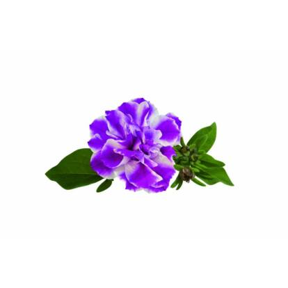 Petunia Amarena Twist