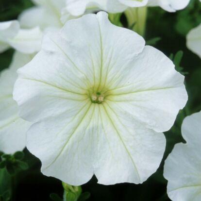 Petunia Veranda White