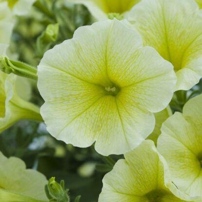 Veranda Yellow
