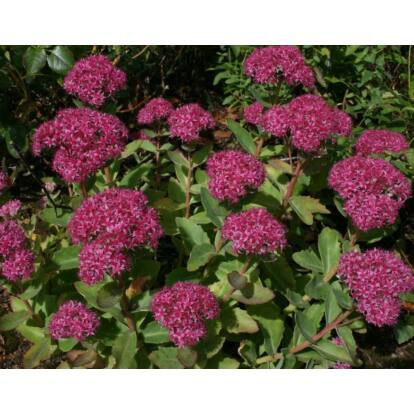 Sedum Telephium 'Carl' / Kárpáti vagy piros virágú varjúháj