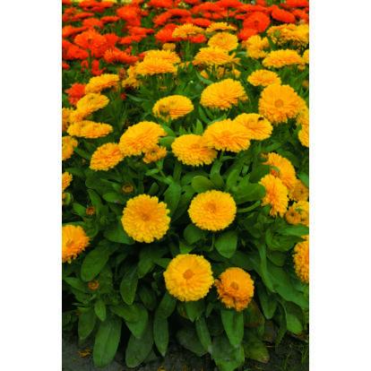 Calendula Candyman Yellow / Körömvirág
