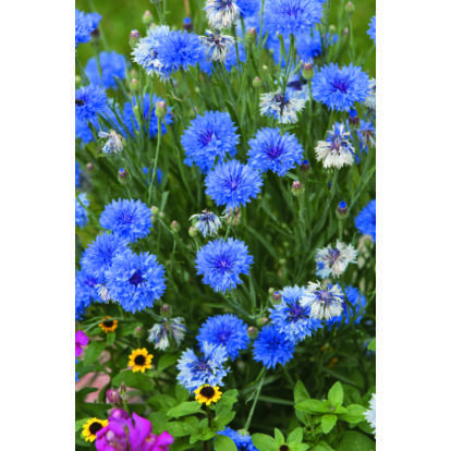Cornflower Dwarf Blue Midget / Búzavirág