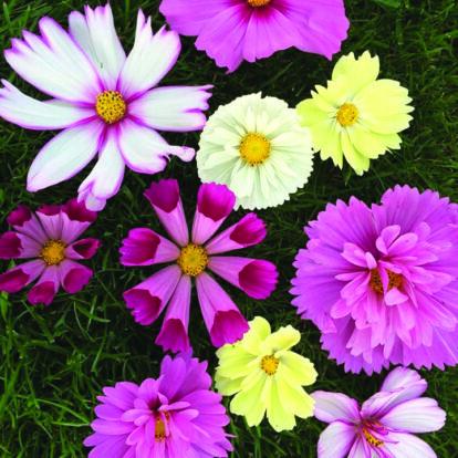 Cosmos All Sorts Mixed / Kerti pillangóvirág