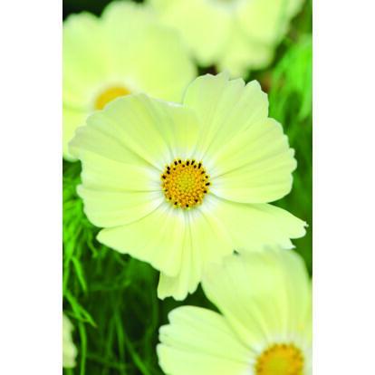 Cosmos Lemonade / Kerti pillangóvirág