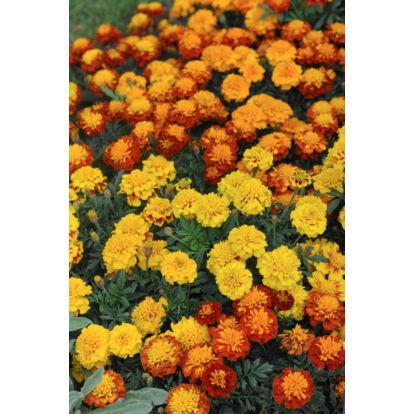 Marigold Boy O Boy Mixed / Törpe bársonyvirág