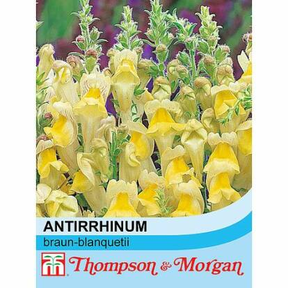 Antirrhinum Braun-Blanquetii / Oroszlánszáj