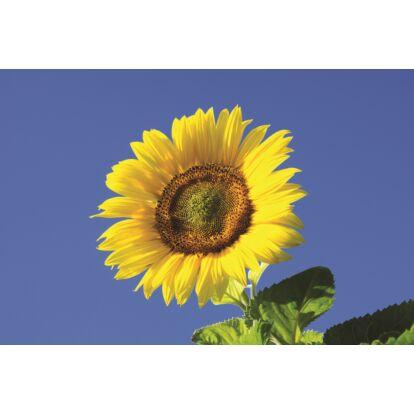 Sunflower Russian Giant / Dísznapraforgó