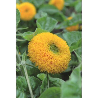 Sunflower Teddy Bear / Dísznapraforgó