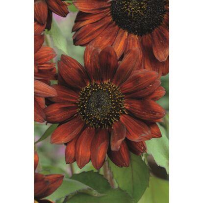 Sunflower Velvet Queen / Dísznapraforgó