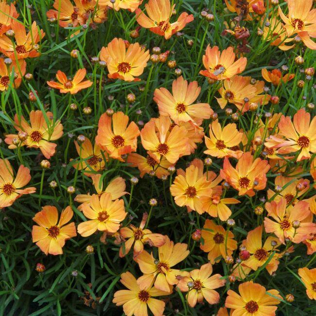 Coreopsis verticillata 'Mango Punch' / Menyecskeszem