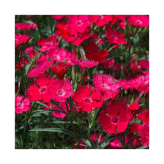 Dianthus Hybr. 'Summer Diamonds Hot Rose' / Nyári szegfű