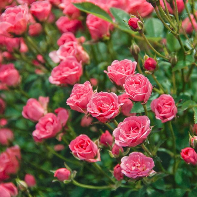Rosa 'Lily Rose' / Törpe balkonrózsa