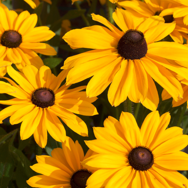 Rudbeckia hirta SmileyZ 'Sunny Smiley' / Kúpvirág
