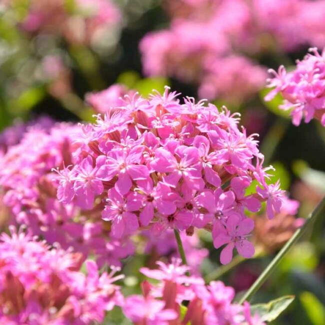 Silene hybrida 'Sparkling Rose' / Habszegfű