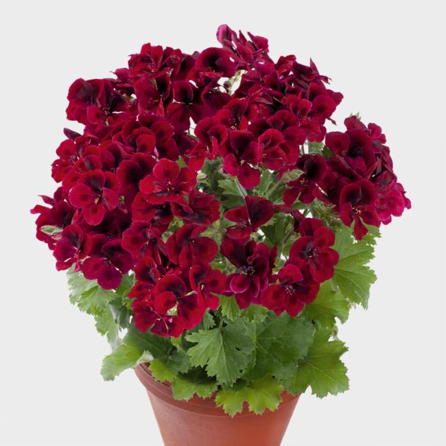 Candy Flowers Dark Red