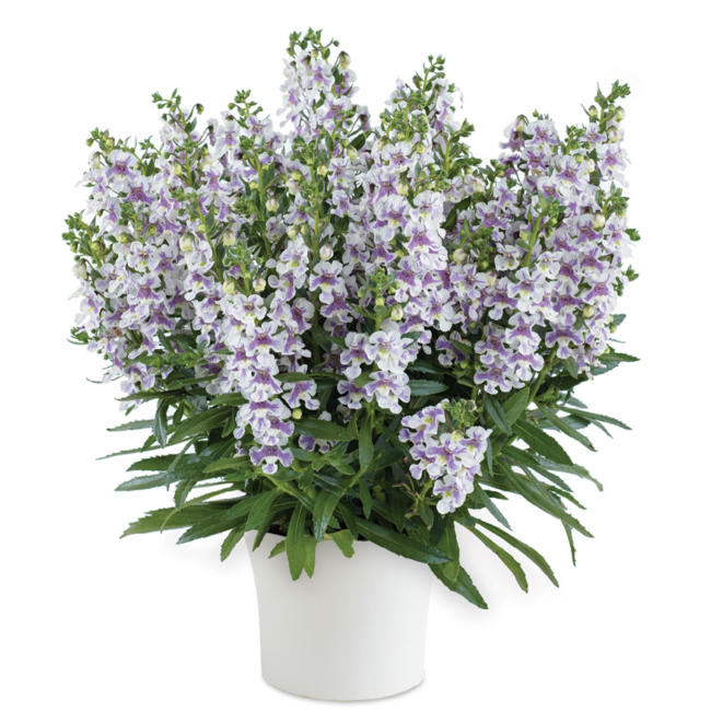 Angelonia Alonia Bicolor Violet / Keskenylevelű angyalfüzér