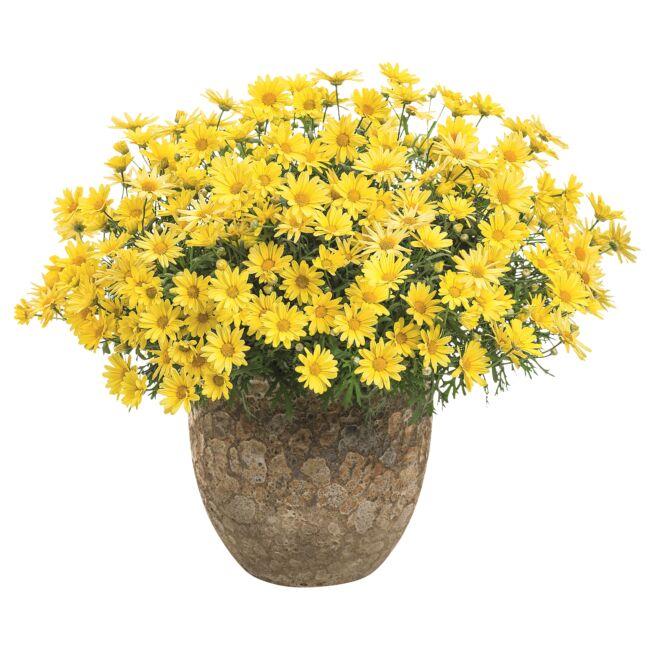 Argyranthemum Golden Butterfly / Cserjés margaréta