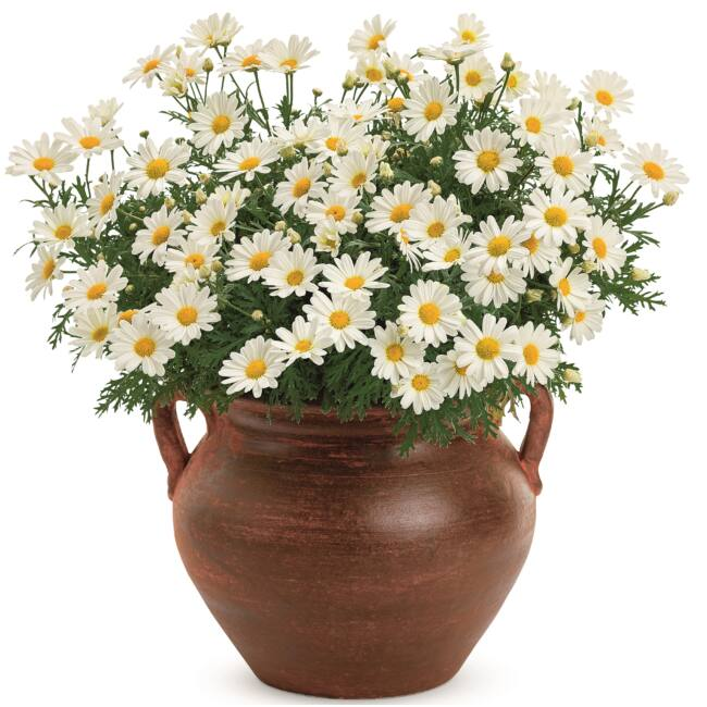 Argyranthemum Pure White Butterfly / Cserjés margaréta