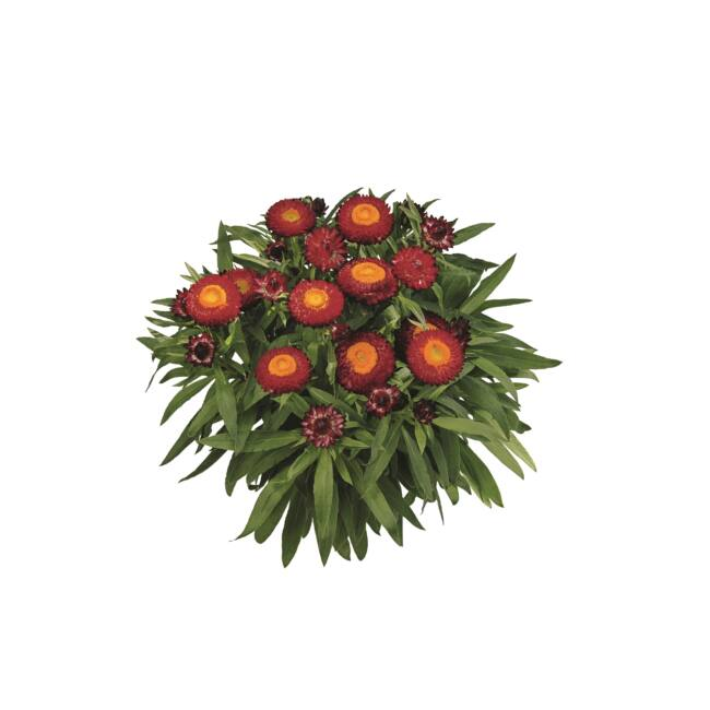 Bracteantha Sunbrella Red / Szalmarózsa