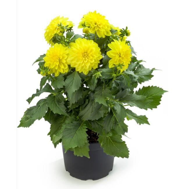 Dahlia Labella Maggiore Yellow / Óriás dália