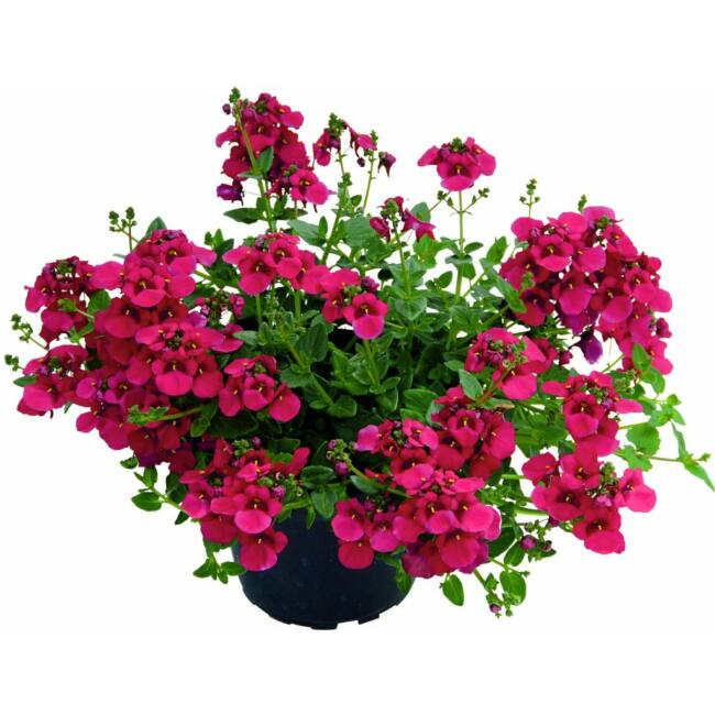 Diascia Breeze Plus Red / Kanálajak