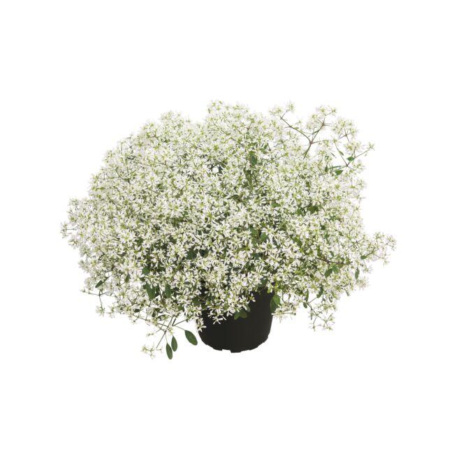 Euphorbia Diamond Snow / Kerti kutyatej