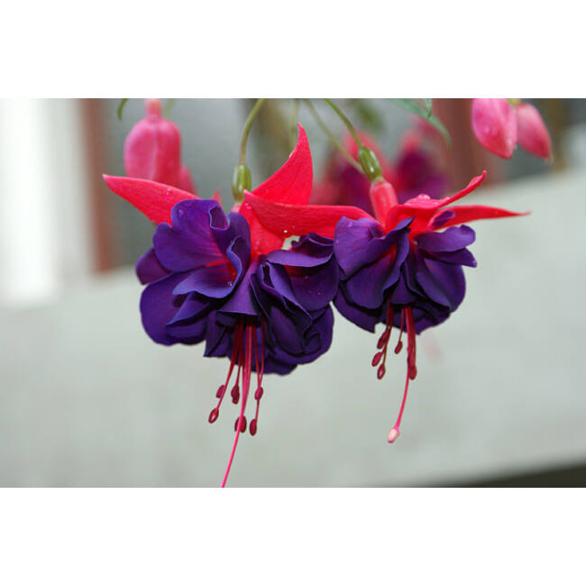 Fuchsia Maori Maid / Óriásvirágú fukszia